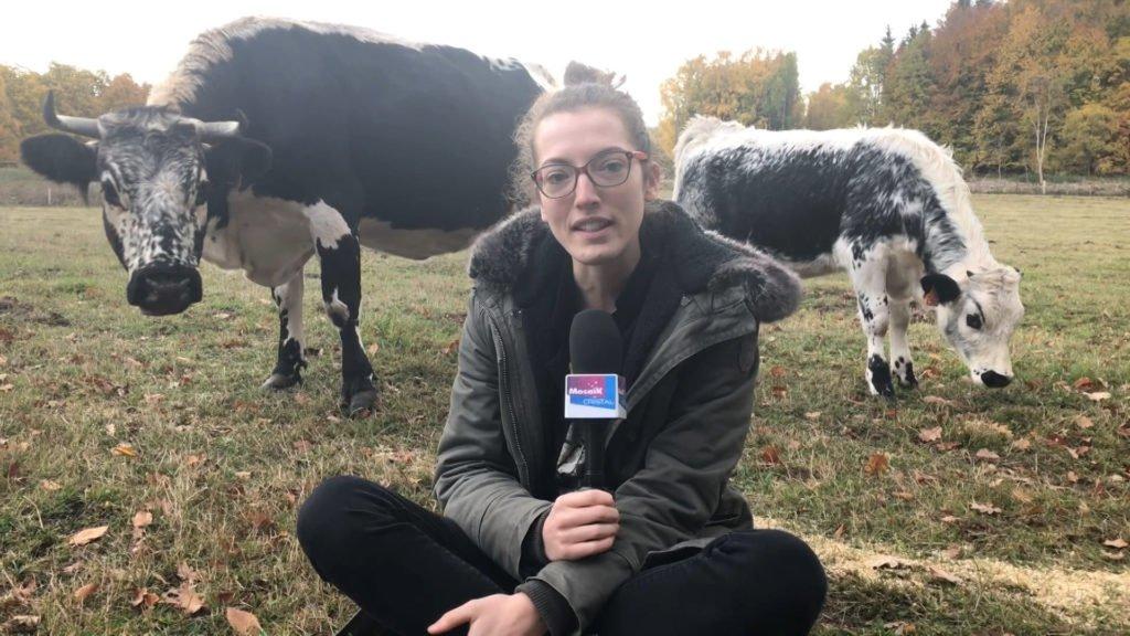 élevage de vaches vosgiennes