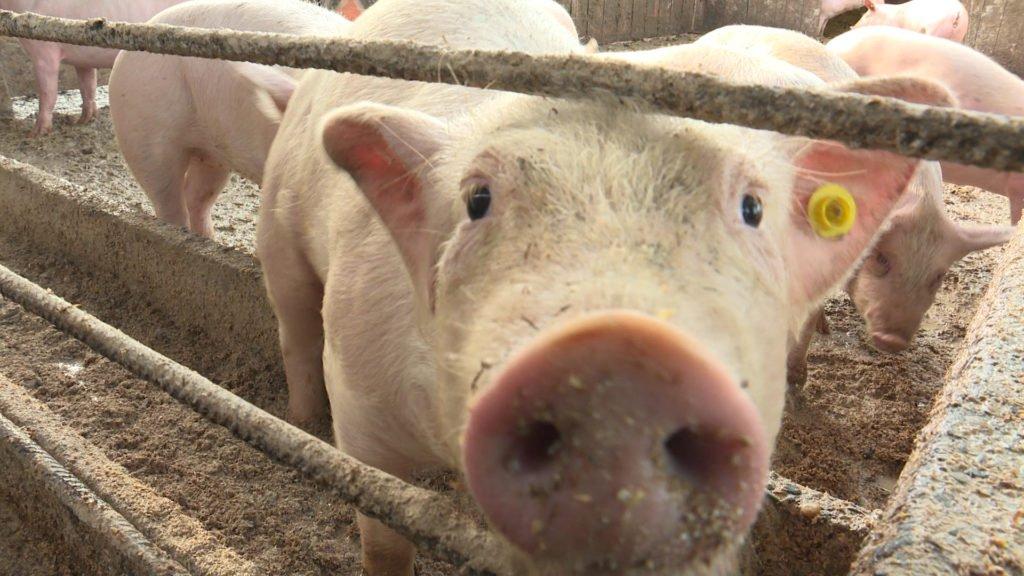 Alerte à la peste porcine