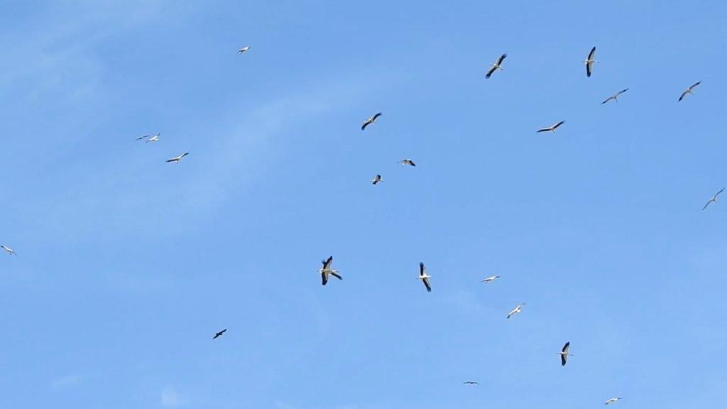 Près de 350 cigognes en pleine migration