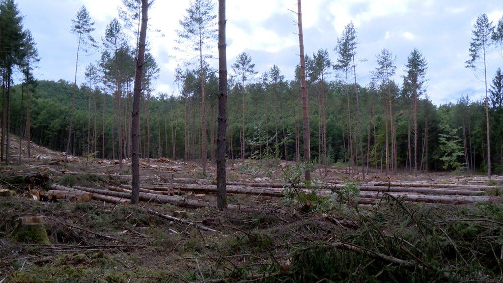 Conséquences sécheresse sur épicéas de la forêt de Bitche