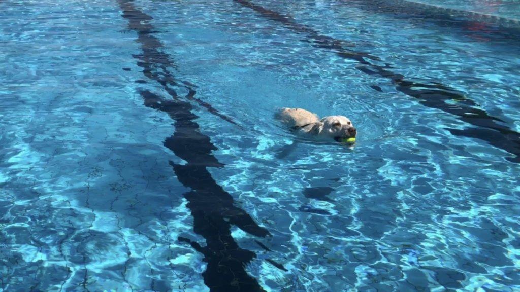 Les chiens plongent dans la piscine de Kleinblittersdorf