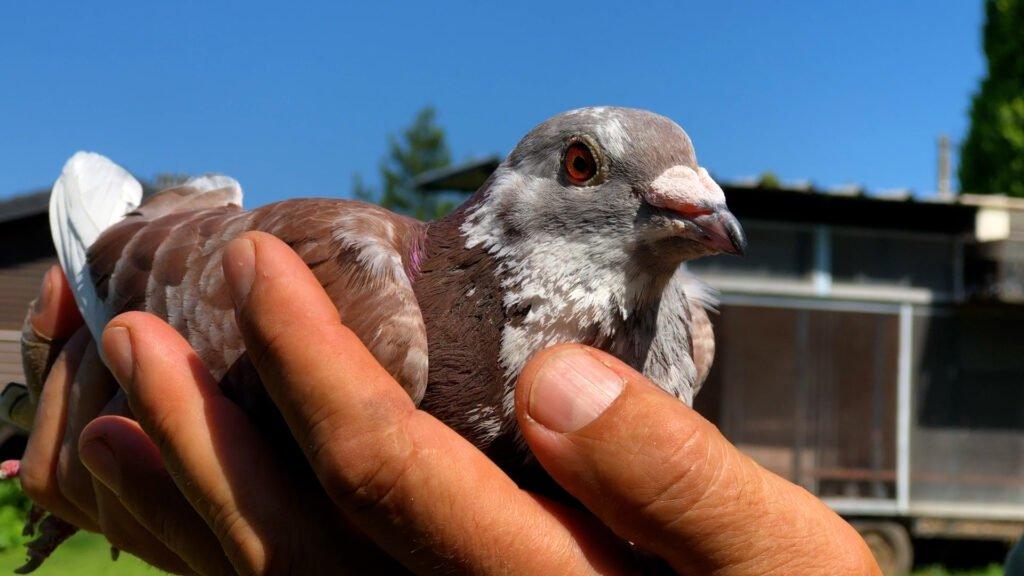 La colombophilie ou l'art d'aimer les pigeons voyageurs